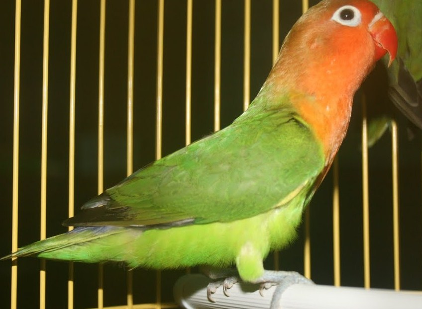 Jenis Lovebird Import Holland