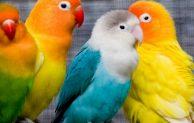 5+ Jenis Lovebird Termahal Dan Gambarnya Lengkap