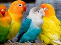 jenis lovebird terbaik