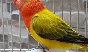 Lovebird Biola