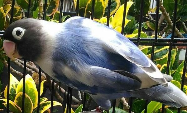 Lovebird Blorok Biru