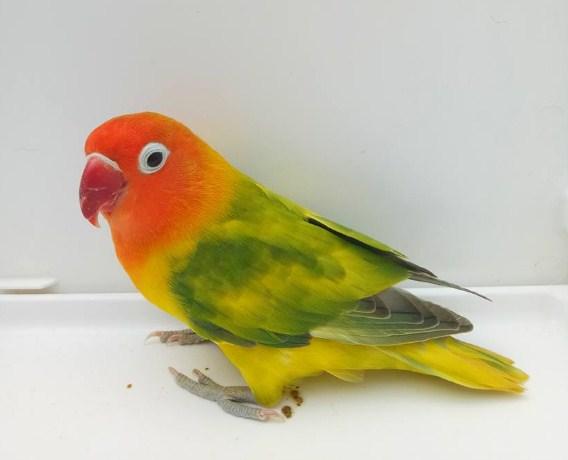 Lovebird Blorok Green Series