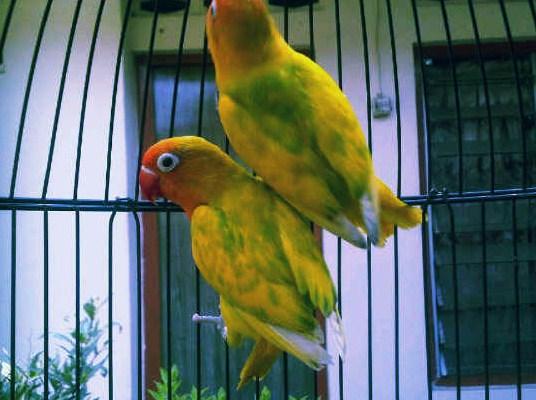 Lovebird Blorok Hijau