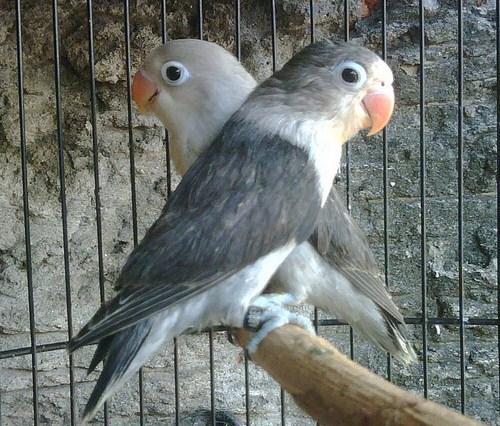 Lovebird Blorok Hitam
