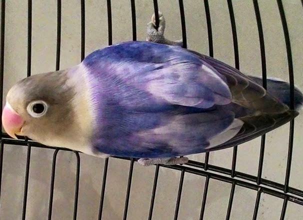 Lovebird Blorok Violet