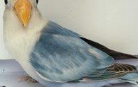 6+ Ciri Burung Lovebird Blorok Termahal