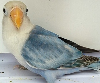 Lovebird Blorok termahal