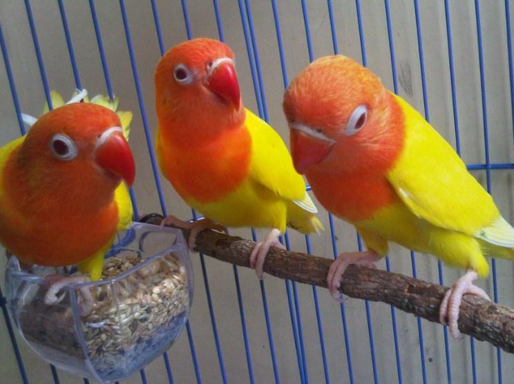 jenis Lovebird Import Lutino