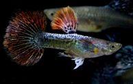 Begini Cara Budidaya Ikan Guppy Yang Sederhana Namun Penghasilan Melimpah