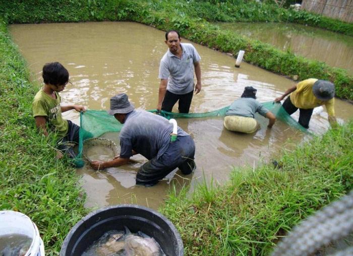 cara ternak ikan gurame berkualitas