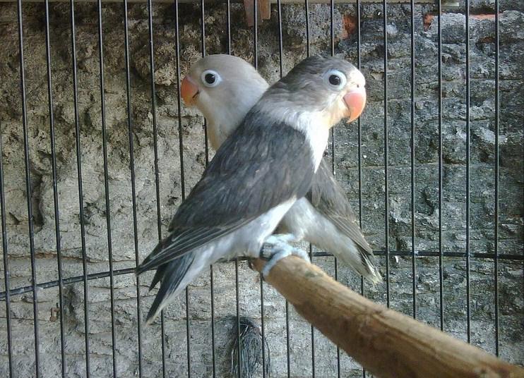 jenis Lovebird Blorok Hitam