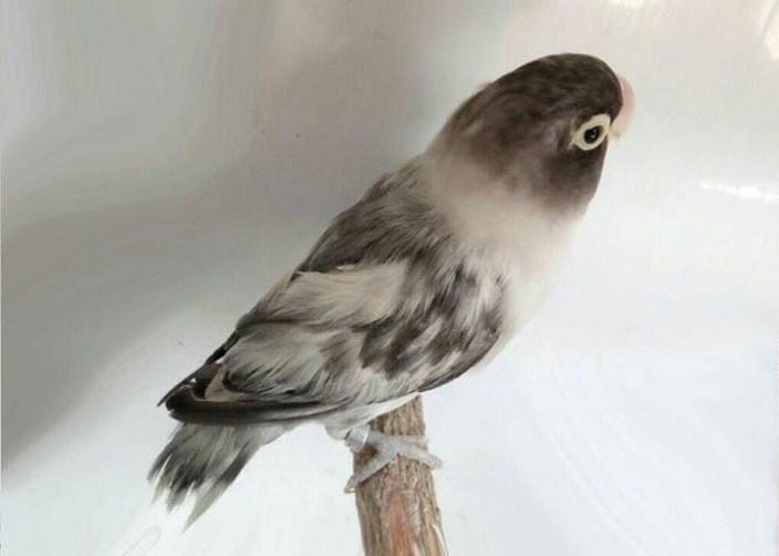 jenis Lovebird Blorok