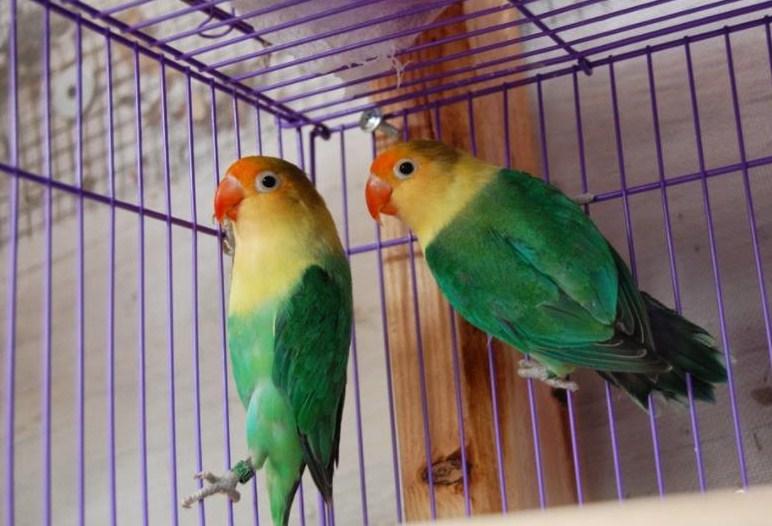 jenis Lovebird Parblue