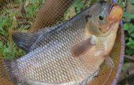 Panduan dan Cara Ternak Ikan Gurame Bagi Pemula