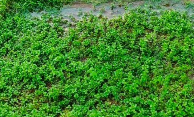 tanaman air monte carlo