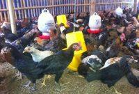 Sering Dianggap Sama Ini Dia Perbedaan Ayam Joper dan Ayam Kampung-min