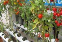 Cara Menanam Hidroponik Tomat