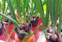 Panduan Menanam Bawang Merah di Pot Mudah Untuk Rumahan