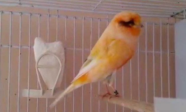 Jenis Dan Ciri Khas Burung Kenari