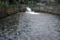 Budidaya Pembenihan Ikan Yang Dapat Dipelihara Pada Kolam Air Deras