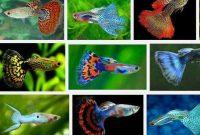5 Cara Ternak Ikan Guppy yang Mudah di Rumah
