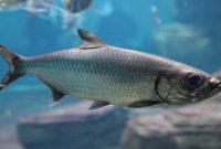 5 Ikan Yang Hidup Di Air Payau Yang Baik Untuk Dikonsumsi Dan Dibudidayakan