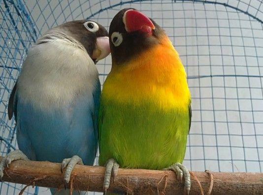 Burung Lovebird