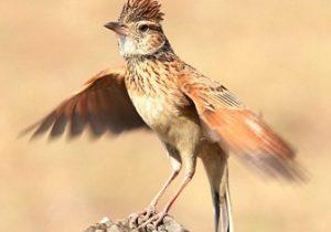 Burung Branjangan Cantik