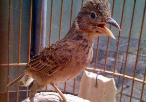 Burung Branjangan Gacor