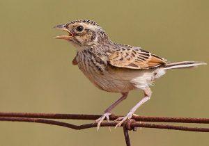Burung Branjangan Jawa