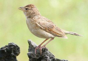 Burung Branjangan Jawa Tengah