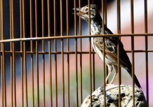 Burung Branjangan NTB