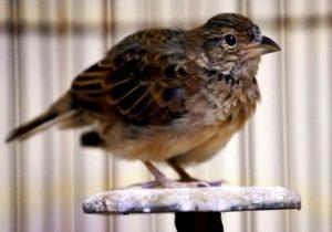 Burung Branjangan Parva