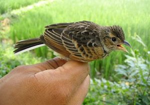 Burung Branjangan Sawah