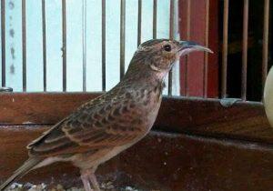 Burung Branjangan Wates