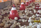 Makanan Dan Minuman Ayam Ternak