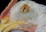 Kesehatan Ayam Ternak