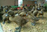 Cara Ternak Bebek Bagi Pemula Melakukan Pemilihan Bibit Bebek Yang Berkualitas