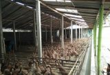 Cara Ternak Bebek Bagi Pemula Menyiapkan Kandang Yang Tepat Untuk Bebek