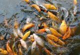 Cara Ternak Ikan Mas Memperkirakan Dan Menentukan Modal