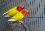 Cara Ternak Lovebird Bagi Pemula Melakukan Perjodohan Lovebird Dengan Tepat