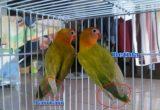 Cara Ternak Lovebird Bagi Pemula Membedakan Lovebird Betina Dan LoveBird Jantan
