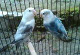 Cara Ternak Lovebird Bagi Pemula Memilih Indukan Yang Unggul