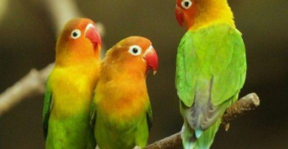 Cara Ternak Lovebird Pemula