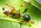 Cara Ternak Semut Rangrang Pemilihan Bibit Semut Rangrang Yang Terbaik
