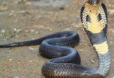 Cara Ternak Ular Kobra Melakukan Perawatan Dengan Baik