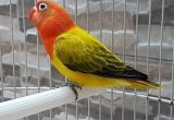 Jenis Lovebird Biola Ewing