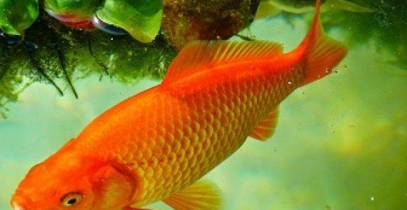 Ternak Ikan Mas