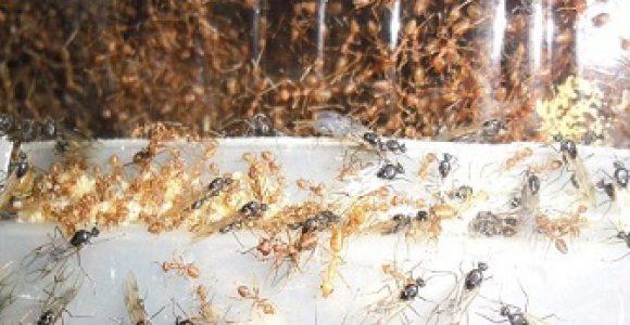 Ternak Semut Rangrang