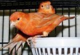 cara ternak burung kenari bagi pemula Memilih Induk Burung Kenari yang Berkualitas